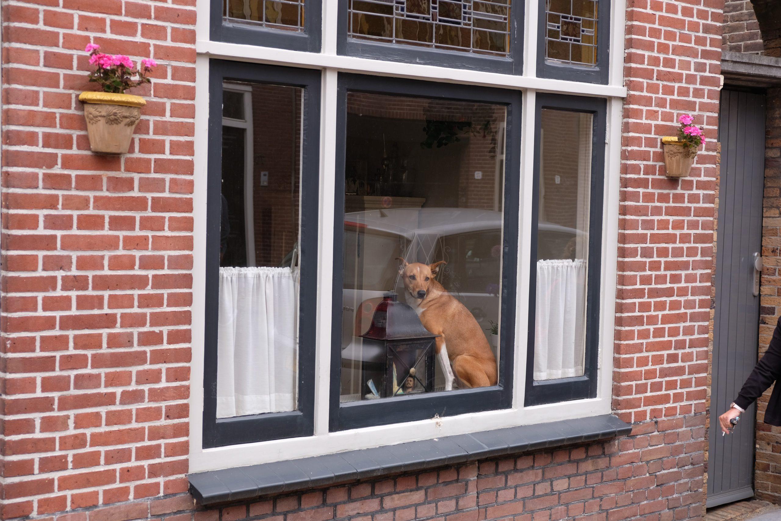 brown and black german shepherd dog on window